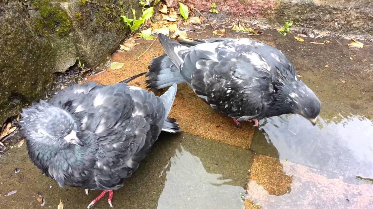 Pigeon Pout
